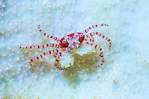 Boxer Crab (Lybia tessellata) with sea anemones in its claws for defense. Lembeh Strait, North Sulawesi, Indonesia.  -  Georgette Douwma