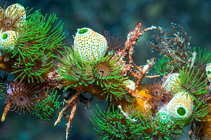 Colonial anemones (Amphianthus nitidus) with Green urn sea squirts (Didemnum molle) (Atriolum robustum). Lembeh Strait, North Sulawesi, Indonesia.  -  Georgette Douwma