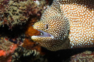 Whitemouth moray eel (Gymnothorax meleagris). Lembeh Strait, North Sulawesi, Indonesia. Indo-Pacific. - Georgette Douwma
