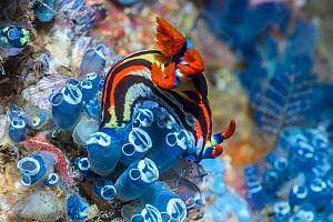Nudibranch (Nembrotha sp) feeding on tunicates. West Papua, Indonesia. Indo-West Pacific. - Georgette Douwma