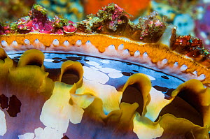 Mantel of Spiny oyster (Spondylus varius). Indonesia. Indo-West Pacific. - Georgette Douwma
