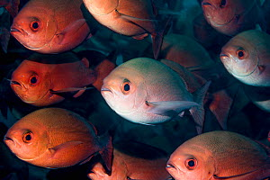Schooling Pinjalo snapper (Pinjalo lewis). West Papua, Indonesia. Indo-West Pacific.  -  Georgette Douwma