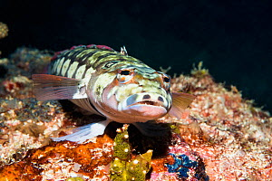 Blackbarred sandperch (Parapercis tetracantha). West Papua, Indonesia. Indo-West Pacific.  -  Georgette Douwma