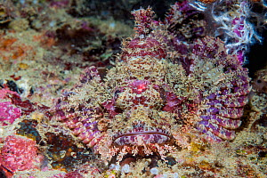 Tasseled scorpionfish (Scorpaenopsis oxycephala). West Papua, Indonesia. Indo-West Pacific. - Georgette Douwma
