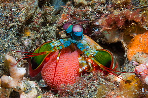 Peacock mantis shrimp (Odontodactylus scyllarus) carrying her eggs. North Sulawesi, Indonesia. Indo-West Pacific.  -  Georgette Douwma