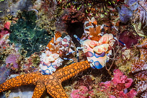 Harlequin shrimp (Hymenocera elegans) pair with an Indian starfish (Fromia indica) prey. West Papua, Indonesia. Indo-West Pacific. - Georgette Douwma