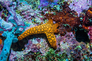 Indian starfish (Fromia indica) with rejuvenating arms. West Papua, Indonesia. Indo-West Pacific.  -  Georgette Douwma