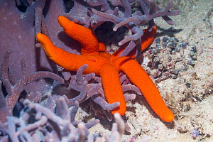Luzon starfish (Echinaster luzonicus) lying on leather coral. West Papua, Indonesia. Indo-West Pacific.  -  Georgette Douwma