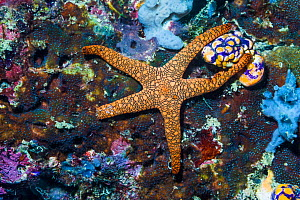 Indian starfish (Fromia indica). West Papua, Indonesia. Indo-West Pacific.  -  Georgette Douwma
