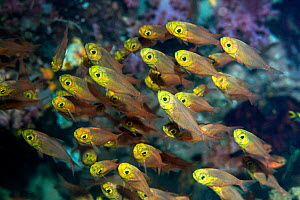 Pygmy sweepers (Parapriacanthus ransonetti). West Papua, Indonesia. Indo-West Pacific. - Georgette Douwma