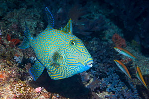 Blue or Rippled triggerfish (Pseudobalistes fuscus). West Papua, Indonesia. Indo-West Pacific.  -  Georgette Douwma