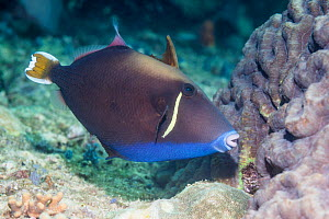 Flagtail triggerfish (Sufflamen chrysopterum). West Papua, Indonesia. Indo-West Pacific.  -  Georgette Douwma