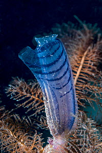 Blue club Tunicate (Rhopalaea circula). West Papua, Indonesia. Indo-West Pacific. - Georgette Douwma