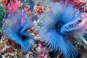 Fan worm (Sabella sp) West Papua, Indonesia. Indo-West Pacific.  -  Georgette Douwma