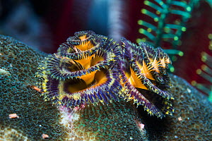 Christmas tree worm (Spirobranchus sp). West Papua, Indonesia. Indo-West Pacific.  -  Georgette Douwma