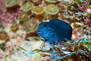Barred blenny (Cirripectes polyzona). West Papua, Indonesia. Indo-Pacific.  -  Georgette Douwma