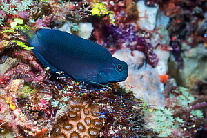Barred blenny (Cirripectes polyzona). West Papua, Indonesia. Indo-West Pacific.  -  Georgette Douwma