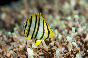 Eight-banded butterflyfish (Chaetodon octofasciatus) juvenile. West Papua, Indonesia. Indo-West Pacific. - Georgette Douwma
