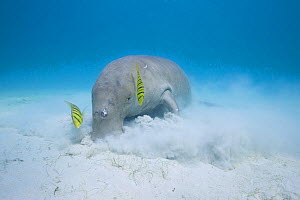 Dugong or Sea cow (Dugong dugon) feeding on seagrass with commensal juvenile Golden trevally (Gnathanodon speciosus) Calauit Island, off Busuanga, Calamian Islands, Palawan, Philippines.  -  Doug Perrine
