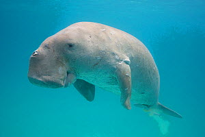 Dugong or Sea cow (Dugong dugon) with a Remora (Echeneis naucrates) attached to its underside, Calauit Island, off Busuanga, Calamian Islands, Palawan, Philippines.  -  Doug Perrine