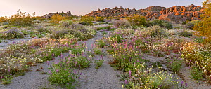 Lupines (Lupinus sp.) and brown-eyed primrose (Chylismia claviformis) grow along the water course, below the eroded granite boulders that are emblematic of the park. Joshua Tree National Park, Mojave... - Jack Dykinga