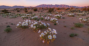Mojave Desert with the Sheephole Mountains in the background, and birdcage evening primrose (Oenothera deltoides) in the forground. Mojave Trail National Monument, California, USA. 27th March 2019. - Jack Dykinga