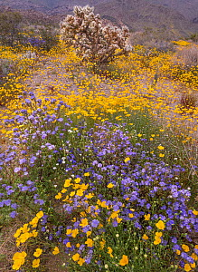 Silver cholla (Cylindropuntia echinocarpa) surrounded by California poppies (Eschscholzia californica) and phacelia. Joshua Tree National Park, Mojave Desert, California, USA. 27th March 2019.  -  Jack Dykinga