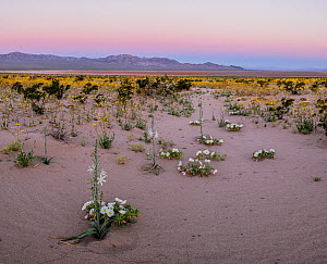 Flowering desert lilies (Hesperocallis undulata) and desert golds (Geraea canescens) in the sandy flats beneath the Calumet Mountains. Mojave Trails National Monument, Mojave Desert, California, USA.... - Jack Dykinga