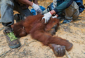 Sumatran orangutan (Pongo abelii) relocation capture. Mother and young reported to Human Orangutan Conflict Response Unit (HOCRU), as seen in isolated tree in an area being cleared for palmnut forest... - Jabruson