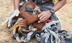 Sumatran orangutan (Pongo abelii) relocation capture. Young orangutan caught in strapping after being isolated in tree. Mother and young reported to Human Orangutan Conflict Response Unit (HOCRU), as... - Jabruson
