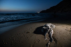Dead cattle calf on a beach. One of the ways live transport ships dispose of dead and dying animals is to throw them overboard. In Israel, it's not uncommon to see animals like this decomposing ca... - Jo-Anne McArthur / We Animals