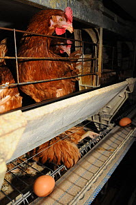Egg-laying chicken hens confined in battery cages on a factory farm, Spain, August 2009  -  Jo-Anne McArthur / We Animals