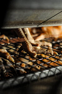 Chicken hens living on the grilled cage flooring in battery farm, Spain, August 2010.  -  Jo-Anne McArthur / We Animals