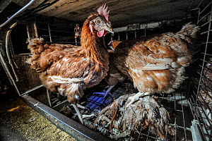 Domestic chicken, laying hens in a battery cage with the corpse of a hen who has died, Spain, August 2010 - Jo-Anne McArthur / We Animals