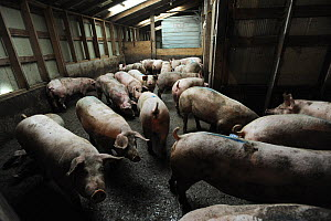 Spray painted pigs crowded together in slaughterhouse holding pen, Ontario, Canada, October 2011 - Jo-Anne McArthur / We Animals