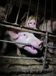 A distressed pig gnaws on a cage bar inside a Finnish factory farm. Finland, February 2015  -  Jo-Anne McArthur / We Animals