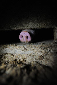 Pig pushing snout under the bars of a factory farm pen. Finland. February 2015  -  Jo-Anne McArthur / We Animals