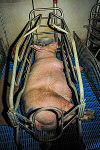 Pig, pregnant sow, in farrowing crate inside a factory farm. These crates confine the sow to stop her moving and prevent mortality of piglets. However studies have shown that mortality of piglets is t...  -  Jo-Anne McArthur / We Animals