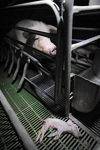 Piglet lies dead outside a farrowing crate inside a factory farm. These crates confine the sow to stop her moving and prevent mortality of piglets. However studies have shown that mortality of piglets... - Jo-Anne McArthur / We Animals