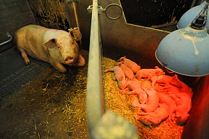 Pig, sow resting separated from her piglets. Sweden, 2009 - Jo-Anne McArthur / We Animals