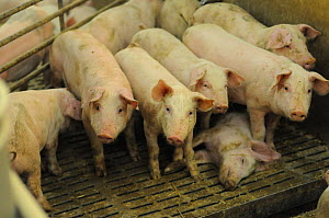 Young pigs standing next to body of dead piglet in factory farm. Sweden, 2009 - Jo-Anne McArthur / We Animals