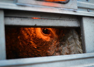 Cow looking out of transport truck just outside slaughterhouse gates. Toronto, Canada, December 2012 � Jo-Anne McArthur/Toronto Cow Save/ naturepl.com - Jo-Anne McArthur / We Animals