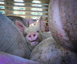 Pigs packed together in transport truck, on hot summer day. These pigs are being transported to the slaughterhouse. Toronto, Canada, August 2013. � Jo-Anne McArthur/ Toronto Pig Save / naturepl.com  -  Jo-Anne McArthur / We Animals