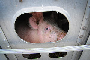 Pigs in a transport truck, on route to slaughter. Toronto, Canada. October 2011. � Jo-Anne McArthur/ Toronto Pig Save / naturepl.com  -  Jo-Anne McArthur / We Animals