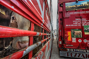 Cow inside a transport truck parked at the Turkish Border. Animals are transported from all across the EU through the Bulgarian border to Turkey for slaughter. These photos were taken during the hotte... - Jo-Anne McArthur / We Animals