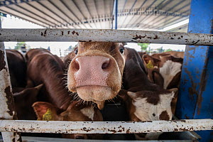 Cattle at a feed station at the Turkish Border. Animals are transported from all across the EU through the Bulgarian border to Turkey for slaughter. These photos were taken during the hotter summer mo... - Jo-Anne McArthur / We Animals