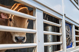 Cow looks out through bars on a transport truck parked at the Turkish Border. Animals are transported from all across the EU through the Bulgarian border to Turkey for slaughter. These photos were tak... - Jo-Anne McArthur / We Animals