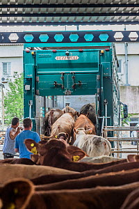 Cattle loaded back onto trucks after stopping at a feed station at the Turkish Border. Animals are transported from all across the EU through the Bulgarian border to Turkey for slaughter. These photos... - Jo-Anne McArthur / We Animals