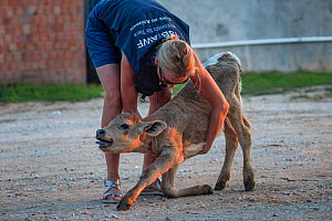 Activist Lesley Moffat holding a calf in distress at the Turkish Border. Animals are transported from all across the EU through the Bulgarian border to Turkey for slaughter. These photos were taken du... - Jo-Anne McArthur / We Animals