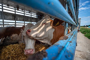 Cattle inside a transport truck parked at the Turkish Border. Animals are transported from all across the EU through the Bulgarian border to Turkey for slaughter. These photos were taken during the ho... - Jo-Anne McArthur / We Animals